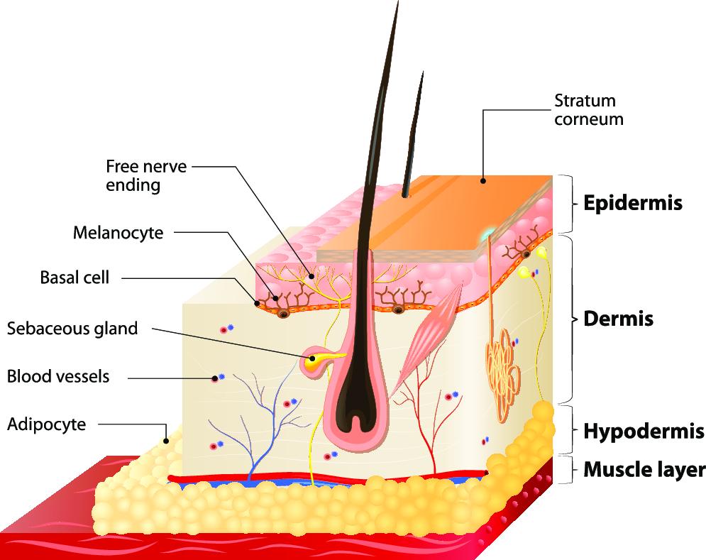 huid-heeft-verschillende-lagen-litteken